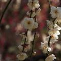 写真: 枝垂れ梅のアップ!140222