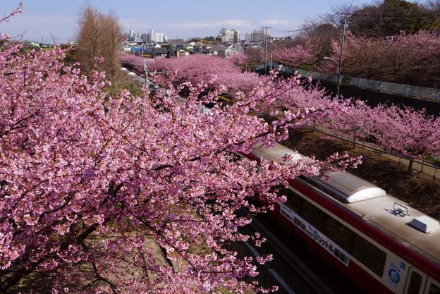 河津桜と京急電車!140304