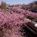 Photos: 河津桜と京急電車!140304