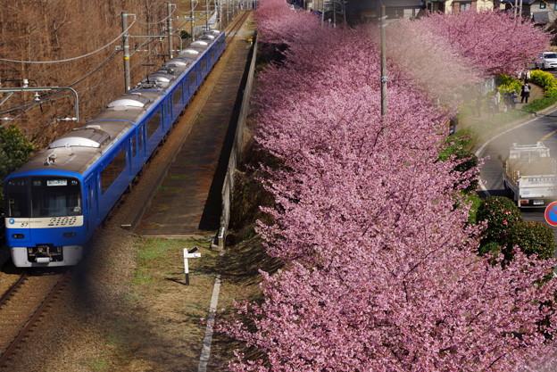 河津桜と青い京急電車!140304