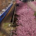 写真: 河津桜と青い京急電車!140304