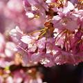 写真: 三浦河津桜まつり!140304