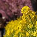 菜の花と河津桜ロード!140304