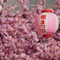 Photos: 河津桜まつりの提灯!140304