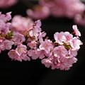 三浦河津桜ピンク!140304