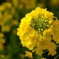 Photos: 三浦の菜の花!140304