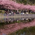 Photos: 河津桜の映り込み!140304