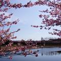 Photos: 河津桜と池2!140304