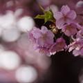 Photos: 河津桜ポツリ!140304