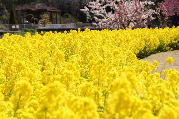菜の花ロード!140321
