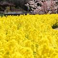 写真: 菜の花ロード!140321