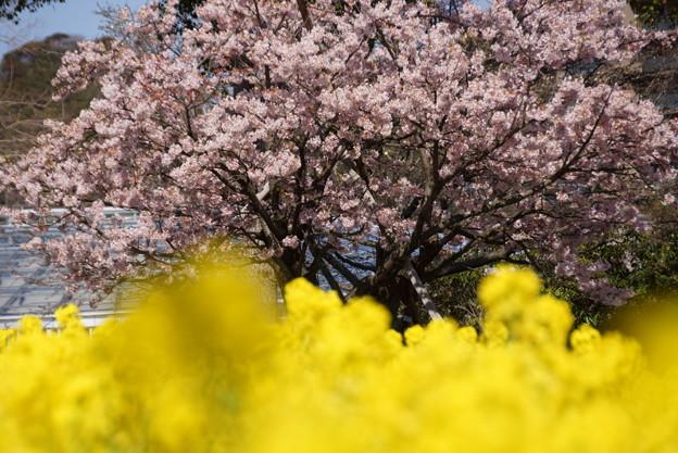 Photos: 菜の花と早咲き桜!140321