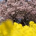 菜の花と早咲き桜!140321