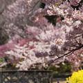 玉縄桜の枝垂れ!140321