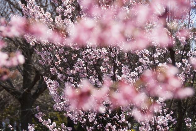 写真: 敬翁桜が満開!140321