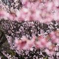 Photos: 敬翁桜が満開!140321
