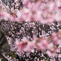 敬翁桜が満開!140321