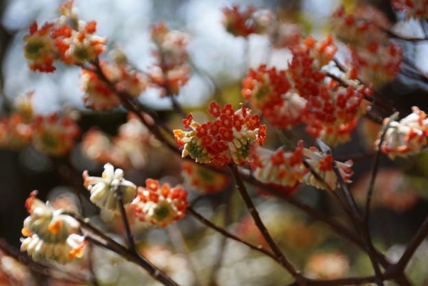 写真: アカバナミツマタいっぱい咲く!140322