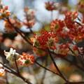 Photos: アカバナミツマタいっぱい咲く!140322