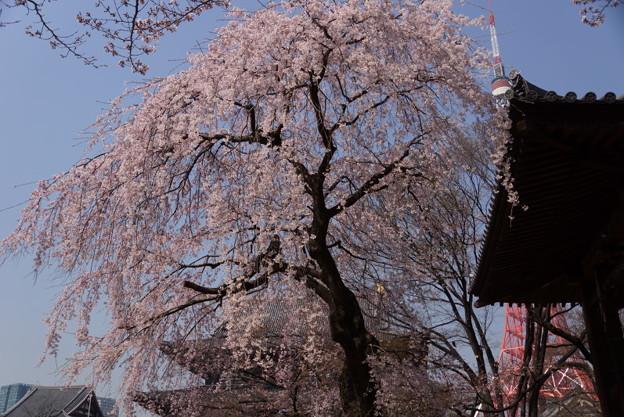 枝垂れ桜とタワー3!