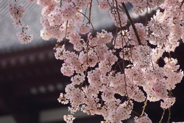 枝垂れ桜が満開!