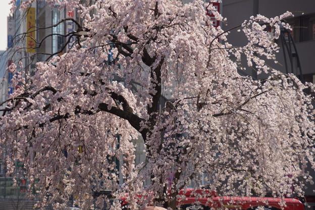 枝垂れ桜が満開上野!140328