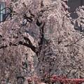 Photos: 枝垂れ桜が満開上野!140328