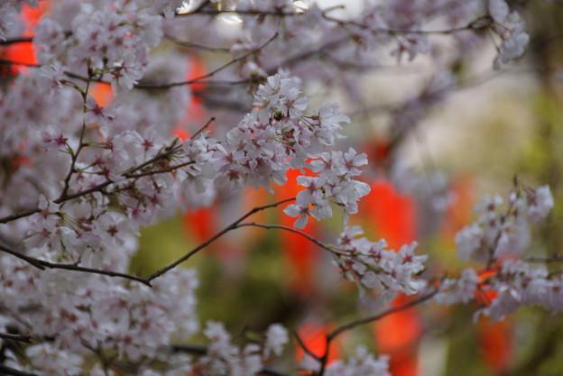 桜まつり上野!140328