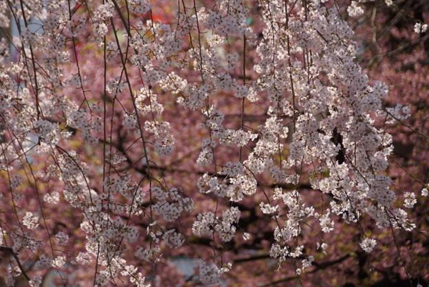 Photos: 枝垂れ桜上野!140328