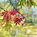 写真: 大雪高原の紅葉