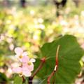 写真: 秋海堂 西瓜の色に 咲きにけり