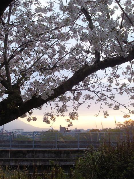 朝焼けをバックに桜をパチリッ!