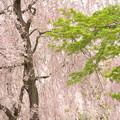 季節のバトンタッチ 京の桜百景
