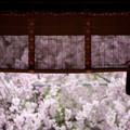 平野神社 京の桜百景