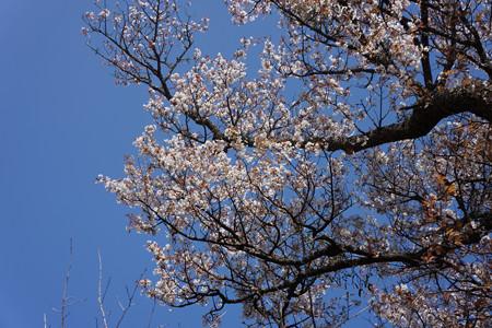 三多気の桜 - 02