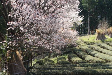 三多気の桜 - 04