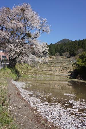三多気の桜 - 08