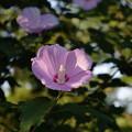 後楽園の花
