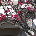 岡山神社の梅