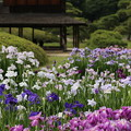 Photos: 岡山後楽園 しょうぶ