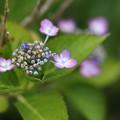 こぶりな紫陽花