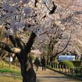 Photos: さくら散歩道