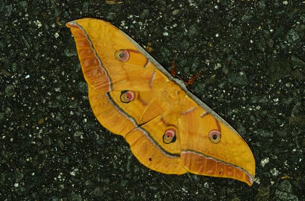 ヤママユ 20120817 ♀