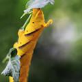 クロメンガタスズメ 20120914 幼虫-03