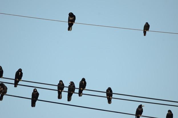 電線にとまるミヤマガラスの群れとコクマルガラス(暗色型)1羽
