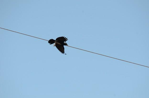 電線から飛び立つコクマルガラス(暗色型)