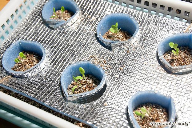 サラダ菜(レタス) 水耕栽培