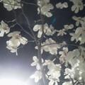 Photos: 花白夜