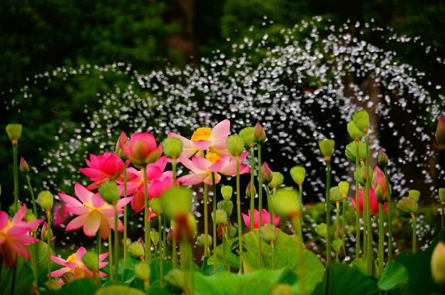 蓮を観る会 府中市 郷土の森公園修景池