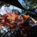 Photos: 冬紅葉(ふゆもみじ)